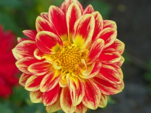 dahlia red with yellow trim