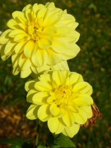 two yellow dahlias