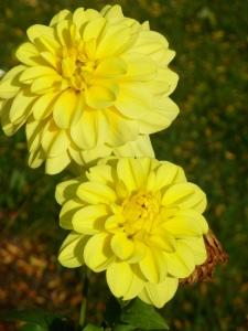 two yellow dahlias